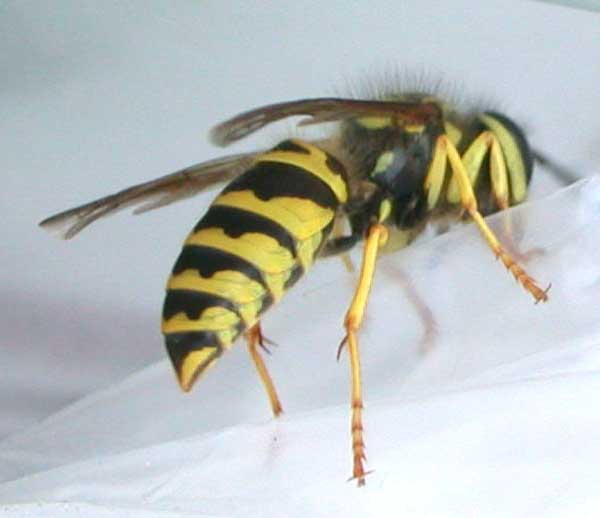 Yellowjacket!