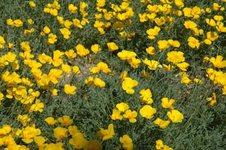 Mexican Poppies - click image for desktop picture