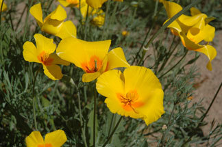 Mexican Poppies - Nikon D70