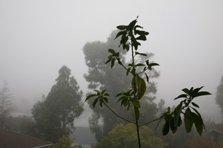 IMG_0215.jpg Photo of avocado plant against early morning fog ... Click image for large file.