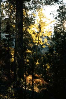 Aspens, Yosemite National Park 1974